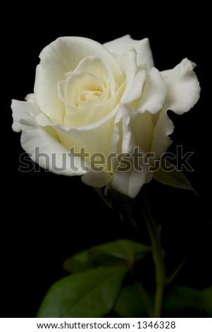 White Rose 3 - stock photo