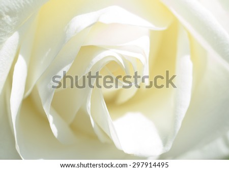 White Rose - stock photo