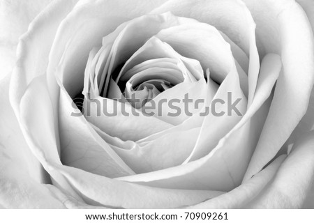 White rose, black and white macro - stock photo