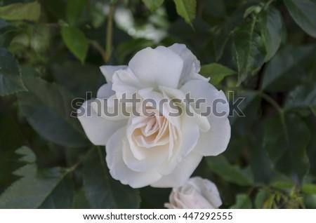 White Garden Rose Bush white rose tropical rose garden stock photo 554868751 - shutterstock