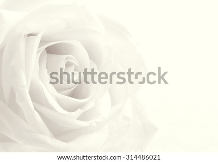White rose close-up can use as background. Soft focus. In Sepia toned. Retro style - stock photo