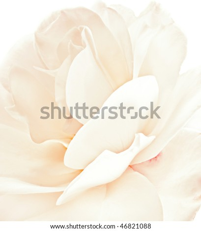 White rose closeup - stock photo