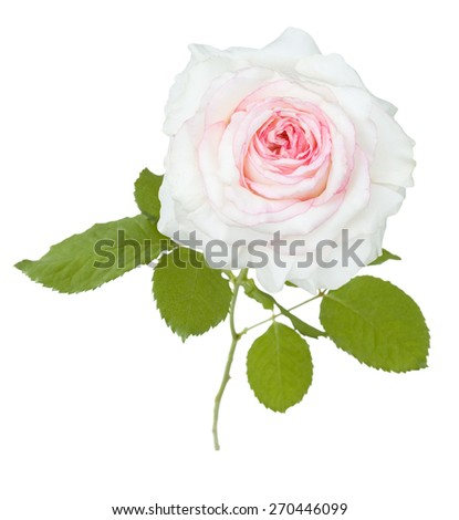 White rose closeup isolated on white background - stock photo