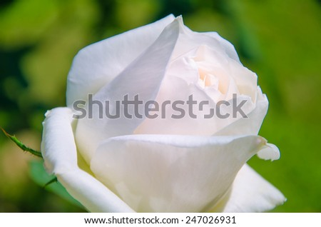 white rose flower for background flowering blooming before valentine day ,signature of pure love  - stock photo