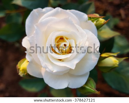 White rose flower with green leaves in the garden - stock photo