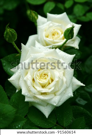 White rose flowers with buds - stock photo