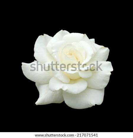 white rose isolate on black background - stock photo