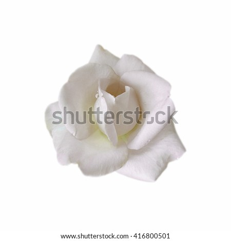 White rose isolated on a white background