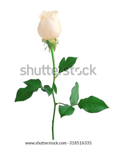 White Rose isolated over white background - stock photo