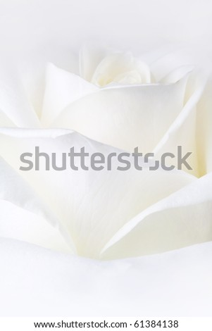 White rose, macro. - stock photo