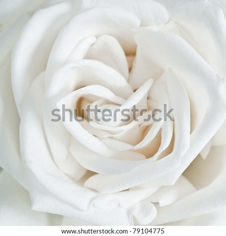 White rose petals close up - stock photo