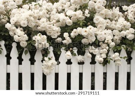 white rose/ rose/ white rose with white fence - stock photo