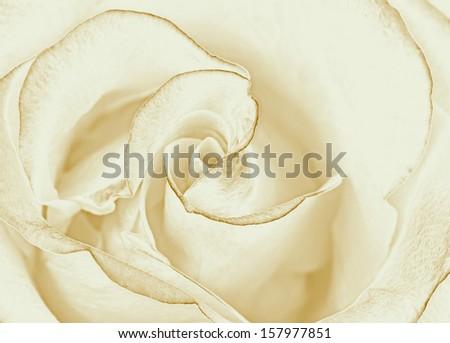 White rose wallpaper - stock photo