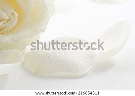 White rose with petals close-up over white background - stock photo