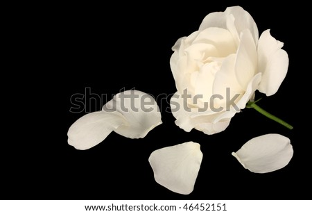 White rose with petals isolated on pure black - stock photo