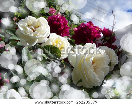 White roses and pink peony bokeh - stock photo