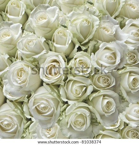 White roses as a square background - stock photo