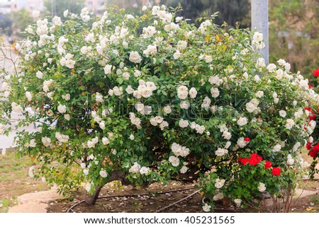 White roses on a blooming bush