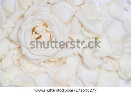 White roses texture - stock photo