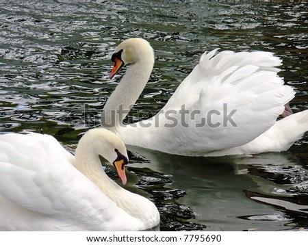 White royal swans - stock photo