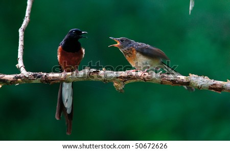 White-rumped Shama and baby is a small passerine bird of the family Muscicapidae. Thailand - stock photo