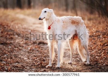 White Russian Wolfhound Dog, Borzoi, Russian Hunting, Sighthound, Russkaya Psovaya Borzaya, Psovoi. Spring Autumn Time, Outdoors Close Up Portrait . Spring Autumn Time, Outdoors - stock photo