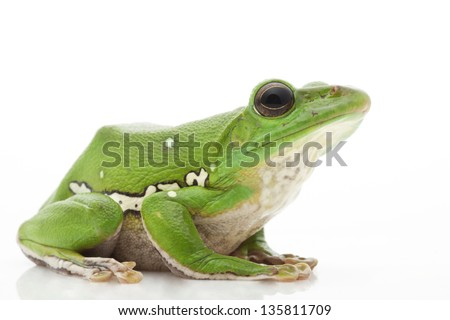 White�¢??s Tree Frog (Litoria caerulea) isolated on white background. - stock photo