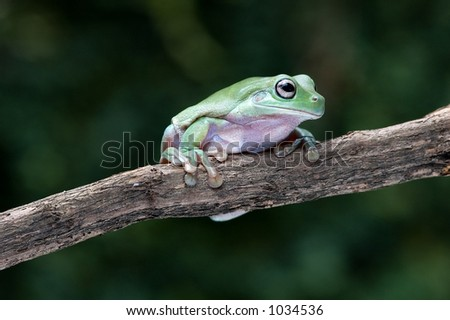 White's tree frog or Dumpy tree frog from Papua on a stick