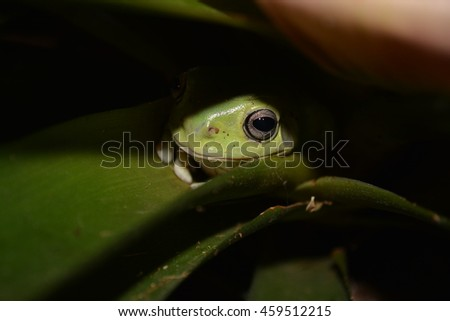 White's tree frog with shadow over him