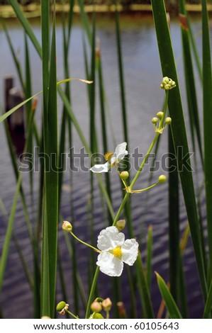 white Sagittaria wildflower against green stalks and water - stock photo