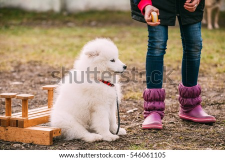 White Samoyed Puppy Dog Play Outdoor in Park.