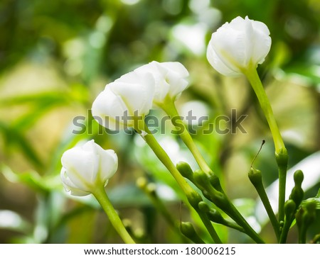 White Sampaguita Jasmine or Arabian Jasmine flowers  begin to bloom (Jasminum sambac (L.) Aiton; Oleaceae)