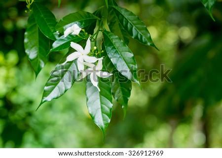 White Sampaguita Jasmine or Arabian Jasmine flowers blossom (Jasminum sambac (L.) Aiton; Oleaceae) - stock photo