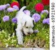 white schnauzer puppy - stock photo