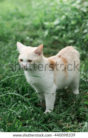 White Scottish cat in the garden,Close up.