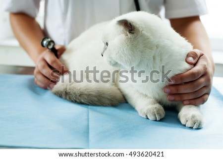 White Scottish Fold sits on veterinary table, the doctor examines the health status