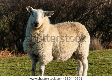 White scottish sheep with green field and trees in the background - stock photo