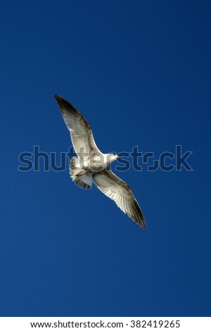 White sea gull flying in the blue clear sky. Flight and freedom of a wild bird. Beautiful Seagull bird with large wing span.  - stock photo