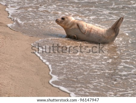 White Sea Lion in the Surf and Sand - stock photo