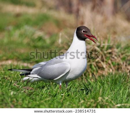white seagull on the green grass - stock photo