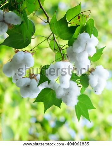 white seed cotton plant - stock photo