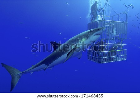 White shark, cage / great white shark swims around the cage - stock photo