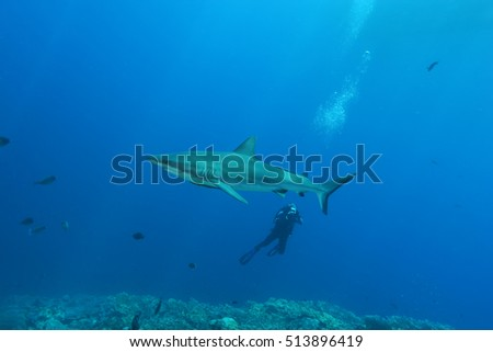 White Shark Dangerous big  Fish Papua New Guinea Pacific Ocean
