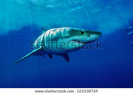 white Shark / Great white shark from Guadalupe Iceland in the deep blue water - stock photo