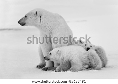 White she-bear with cubs. A Polar she-bear with two small bear cubs. Around snow. Black and white photo.