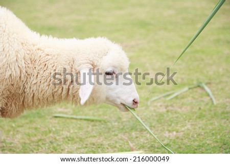 White Sheep - stock photo