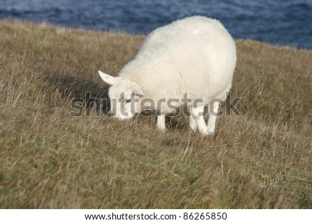 white sheep at the coast in Scotland