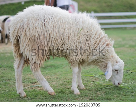 White sheep eating grass in the farm