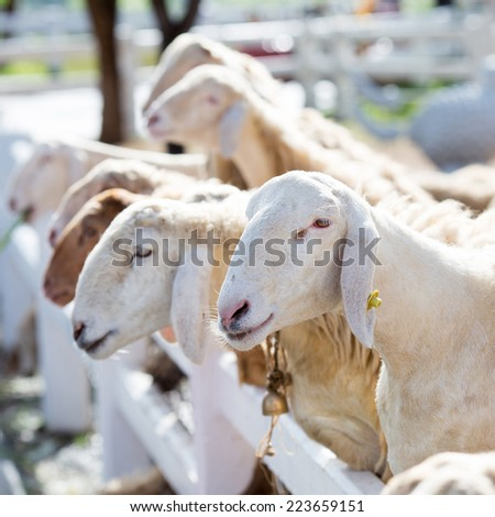 White sheep eating in farm - stock photo
