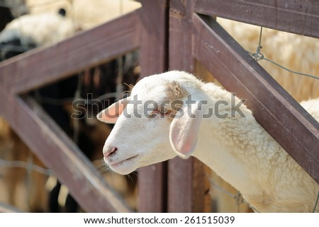 White sheep head close up in livestock